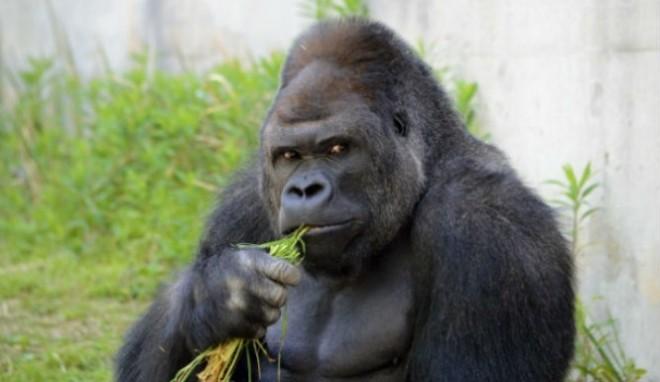 Shabani-Gorilla-665x385