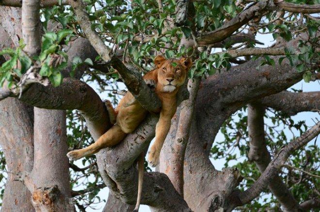 lion2_uganda